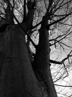 1月6日の樹.JPG