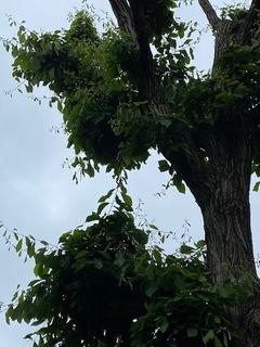 緑道の樹.jpg